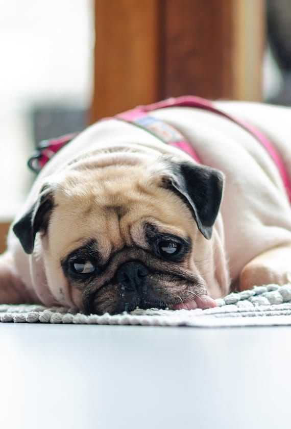 Pet Separation Anxiety in Newport News: A Pug Lays Down on the Rug