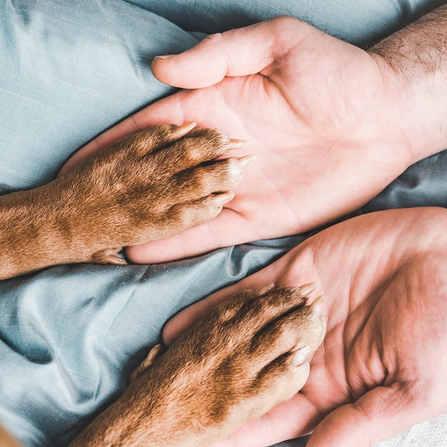 Man's hands holding paws of a young puppy. Close-up, indoor. Day light. Concept of care, education, obedience training, raising pets